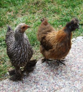partiridge-silkie-and-cochin-cropped