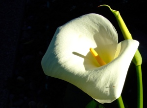 Calla Lily 001close up 3
