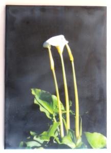 Cala #3  plant 004