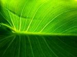 Calla Lily Leaf 1