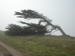 bent tree on bluff