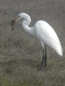 egret c.u. clear-cor